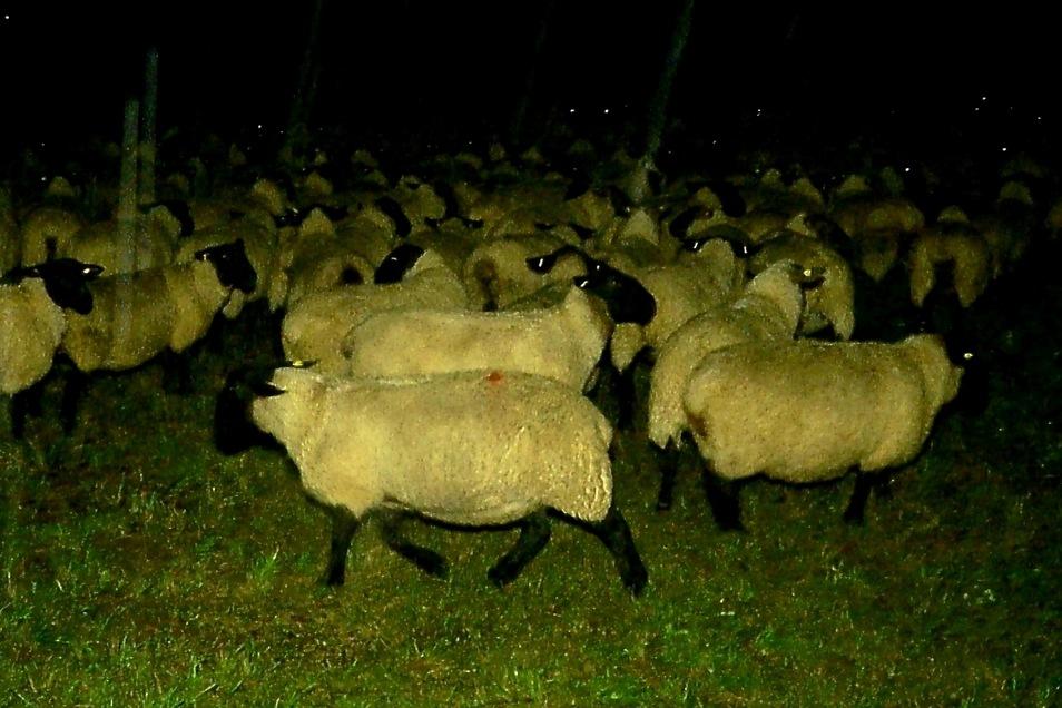 240 Tiere mussten die Kameraden gemeinsam mit dem Schäfer in Ostritz retten.