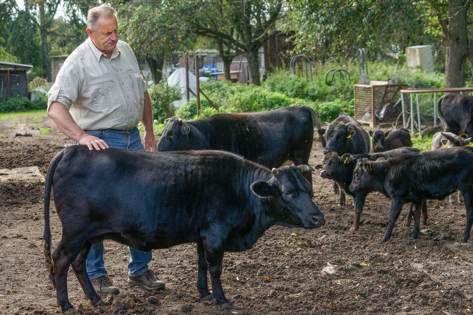 Gerade einmal 85 Zentimeter hoch sind die Mini-Rinder, die Günter Sodan in Kleinbautzen züchtet. Ihre Kälber stehen auf dem Speiseplan des Wolfes.