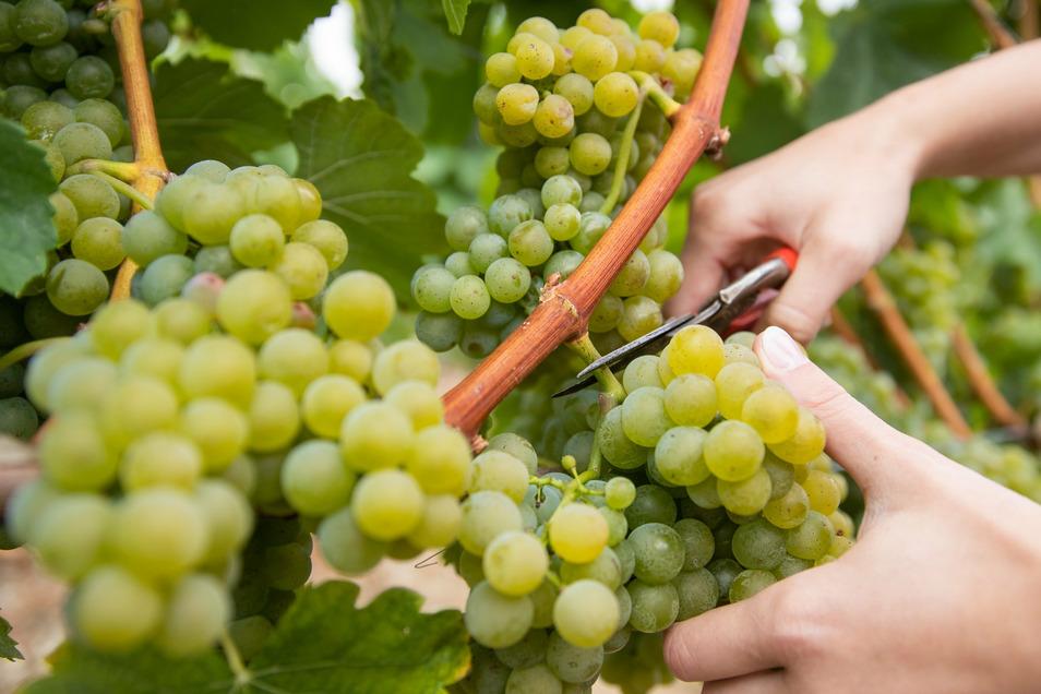 Viele Weinerzeuger in Sachsen schwören auf die traditionelle Handlese