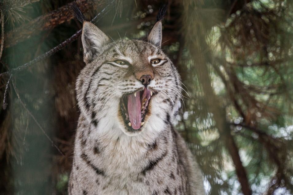 Eine Tierpatenschaft für den Luchs kostet im Jahr 240 Euro. Der Tierpark ist auf solche Spenden angewiesen.