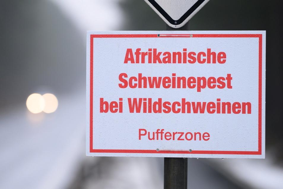 Die Afrikanische Schweinepest breitet sich in Sachsen aus. Seit Ende Oktober wurden mehr als 130 Infektionen nachgewiesen.
