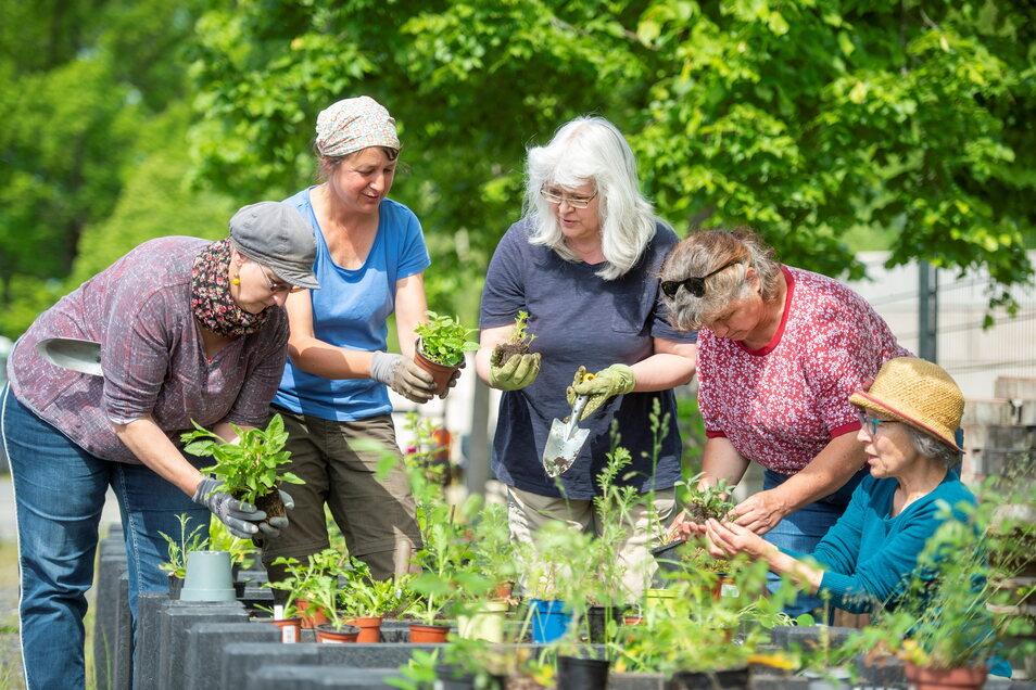 Frauen der Regionalgruppe Radeburg des Netzwerks blühende Landschaften haben am Dienstag Gefäße für den Markt mit gefährdeten Wildpflanzen wie Großer Wiesenknopf, Färber-Hundskamille, Guter Heinrich und anderen bepflanzt.