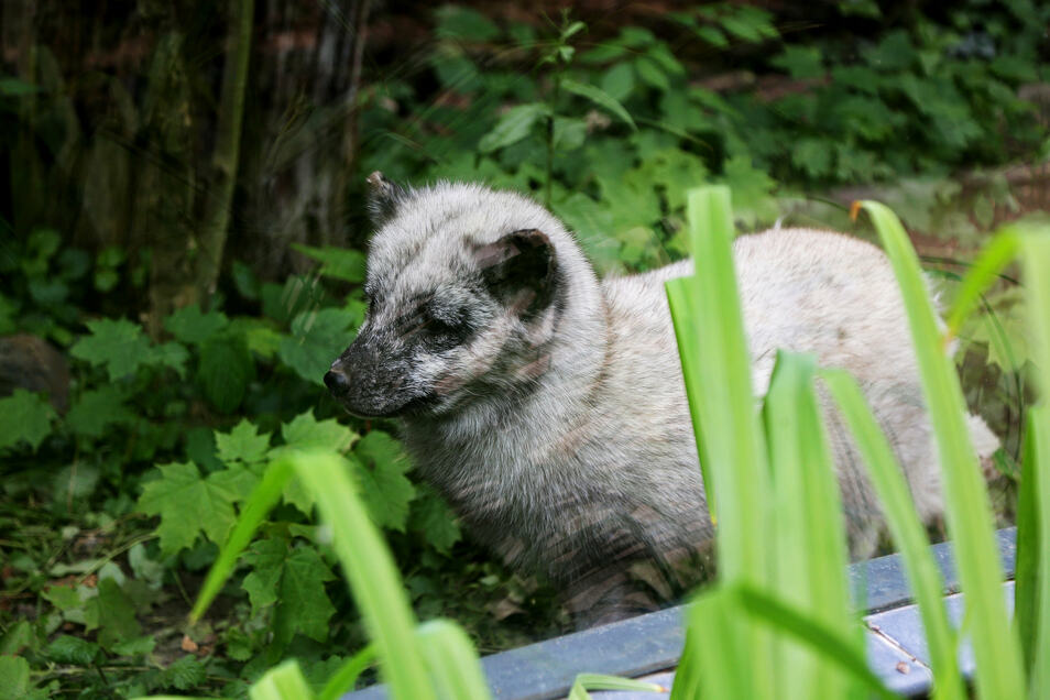 Polarfüchsin Lissy ist die neueste Attraktion im Riesaer Tierpark.