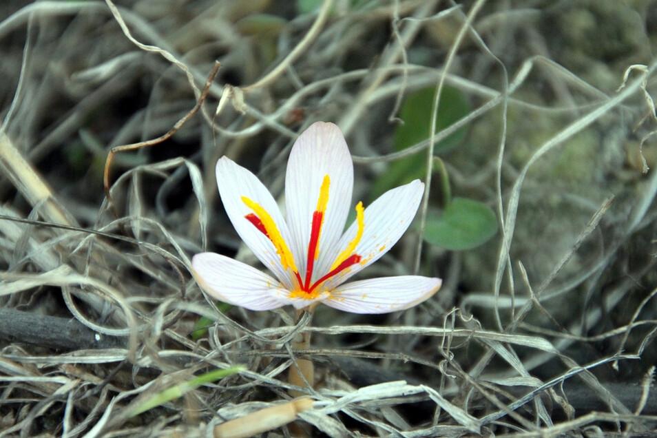 Die Krokus-Wildart Crocus cartwrightianus kommt nur in Griechenland vor