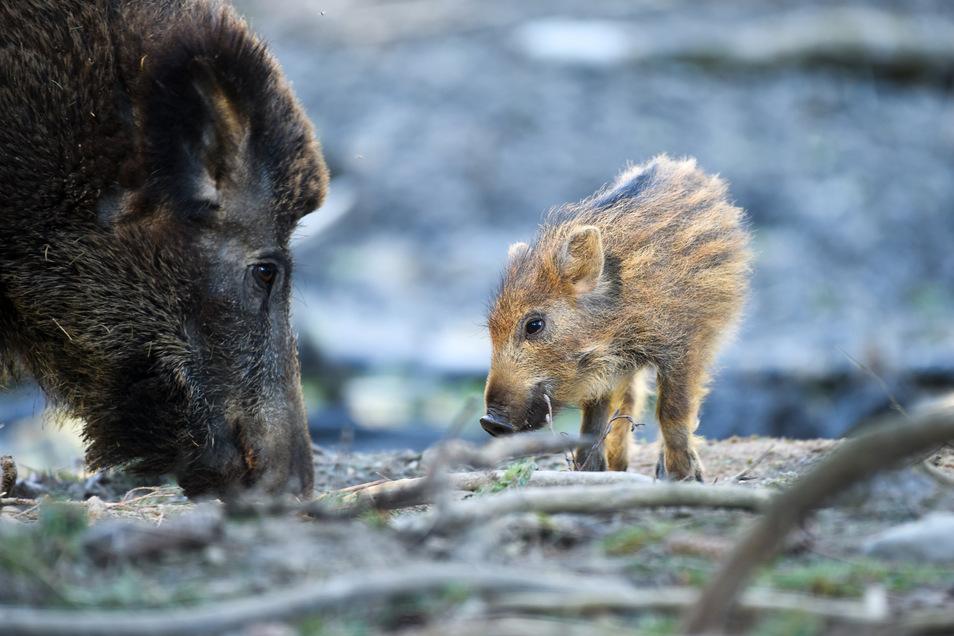 Der Wildschweinbestand in den hiesigen Wäldern wächst derzeit wieder. Das hat mehrere Gründe.