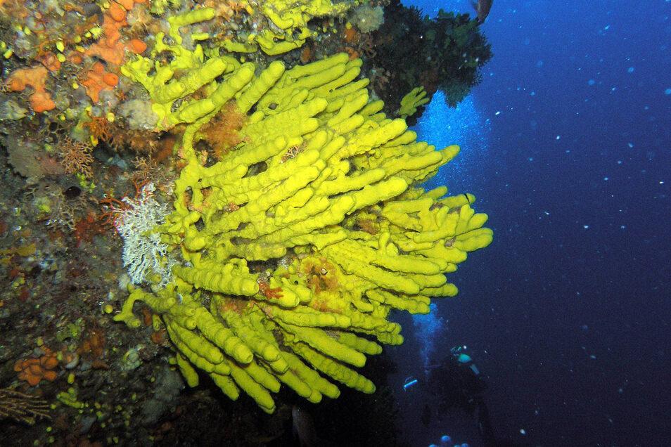 Dieser Zapfenschwamm wächst in vielen Meeresregionen, im seichten warmen Wasser. Und er besitzt einzigartige Fähigkeiten. Er lässt weder Viren noch Bakterien an sich heran.