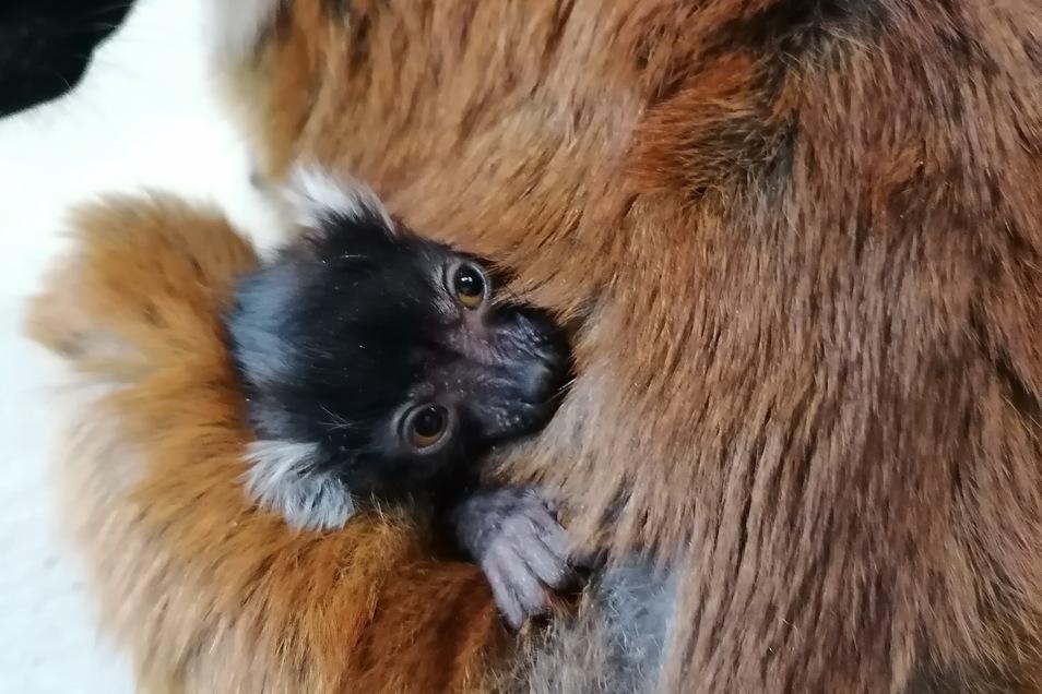 Einer von zwei kleinen Mohrenmakis kuschelt sich in das Fell seiner Mutter.