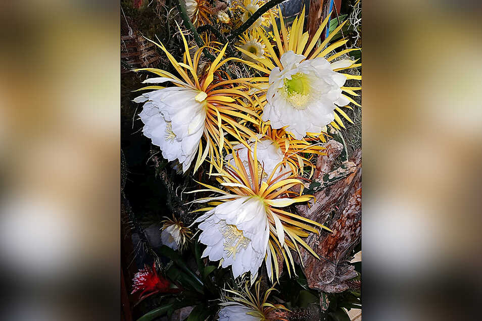 Wunderschön, aber nur für ein Nacht im Jahr: Die Blüten der Königin der Nacht.