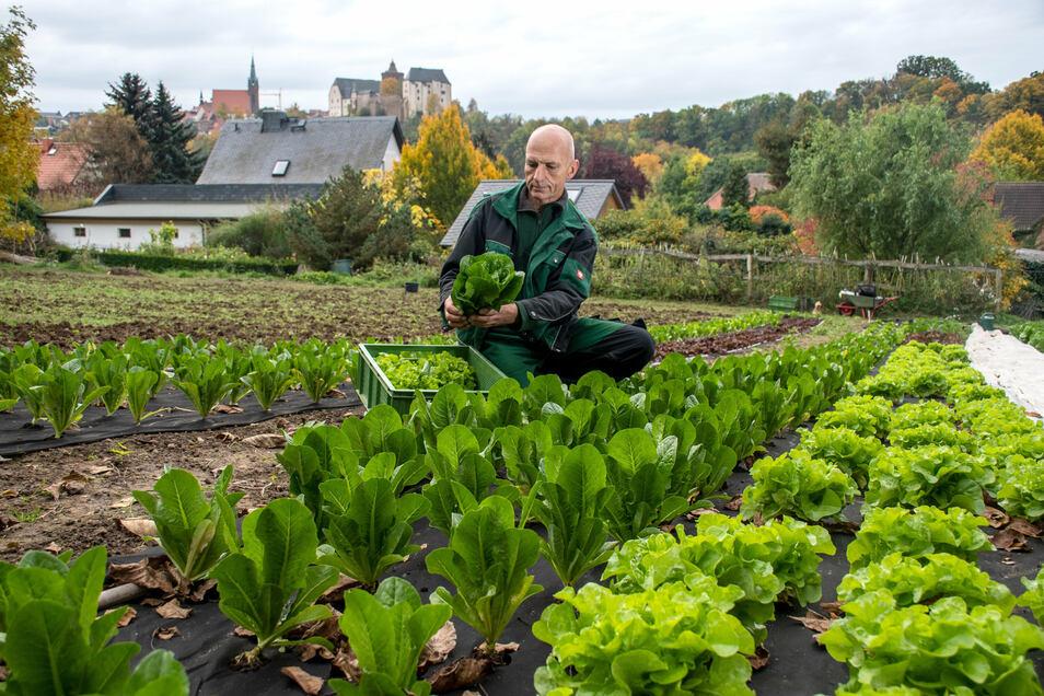 Hans-Jürgen Rockmann erntet Salate.