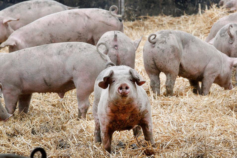 Diese Schweine haben Auslauf, doch die meisten Schweine in Deutschland, die geschlachtet werden, sind ihr Leben lang nur im Stall.