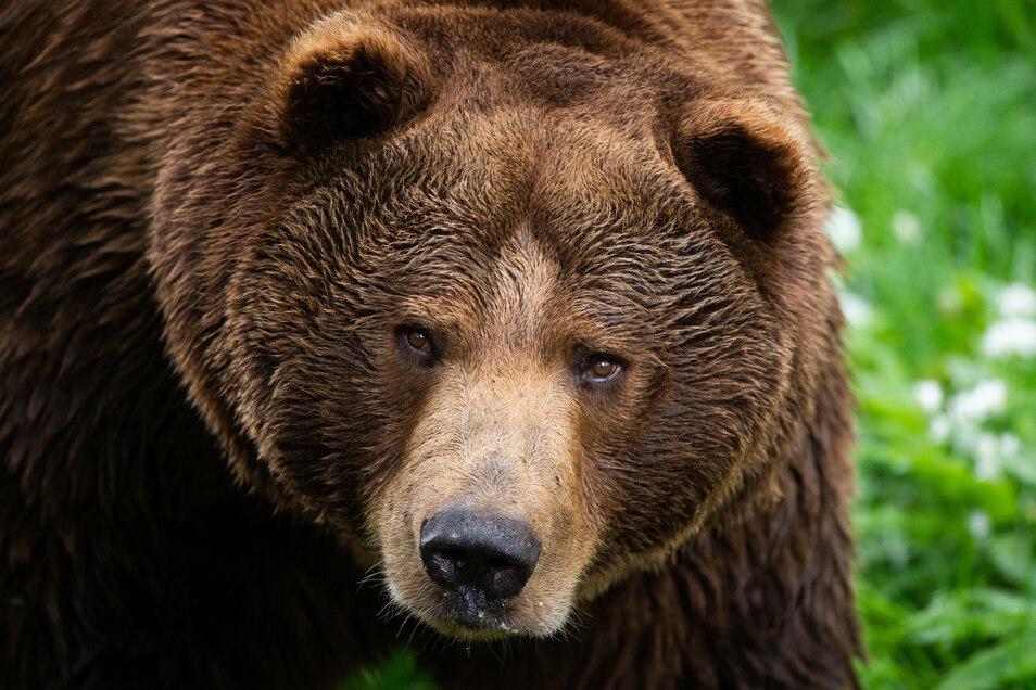 Experten raten, im Falle einer Begegnung mit einem Bären in freier Natur, möglichst viel Krach zu machen  - oder sich tot zu stellen.