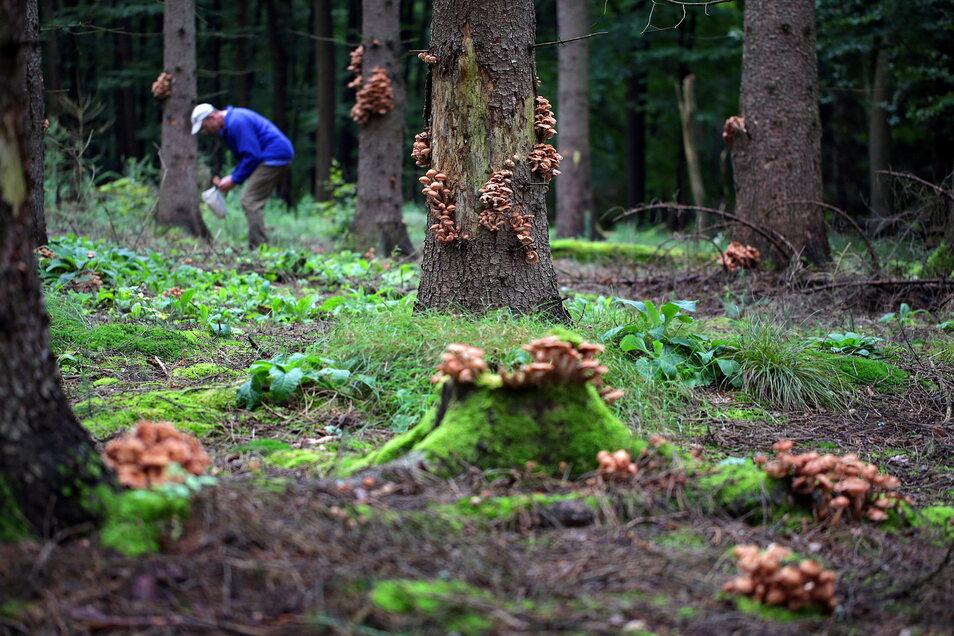 Hallimasch im Nationalpark Sächsische Schweiz. Mit dem Pilzbefall wächst die Baumsturzgefahr.