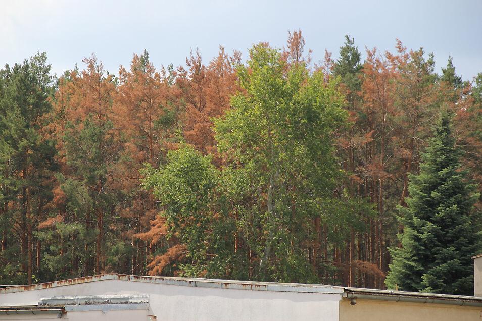 Unweit des Nasslagerplatzes treibt der Borkenkäfer sein Unwesen. Vor zwei Wochen waren noch alle Bäume grün.