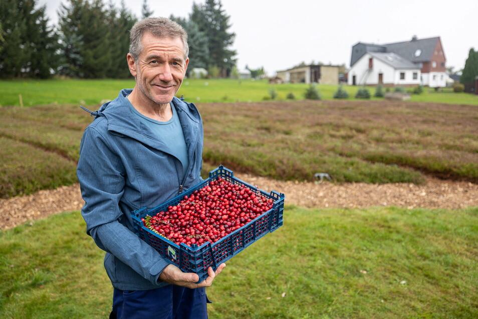Auf seiner Cranberryfarm in Neuklingenberg kann Hermann Ilgen nun die reifen Beeren ernten.