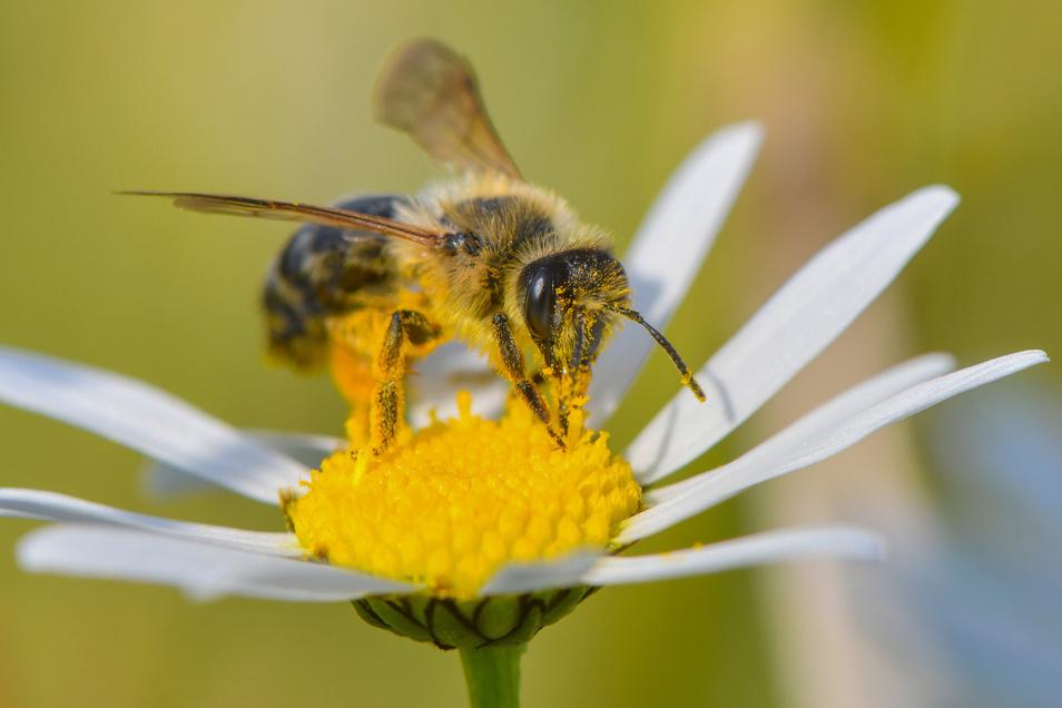 Eine Wildbiene sucht auf einer Magerwiesen-Margerite nach Nektar. In Radeburg gibt es verschiedene Initiativen, um wieder mehr Lebensraum für Insekten zu schaffen.