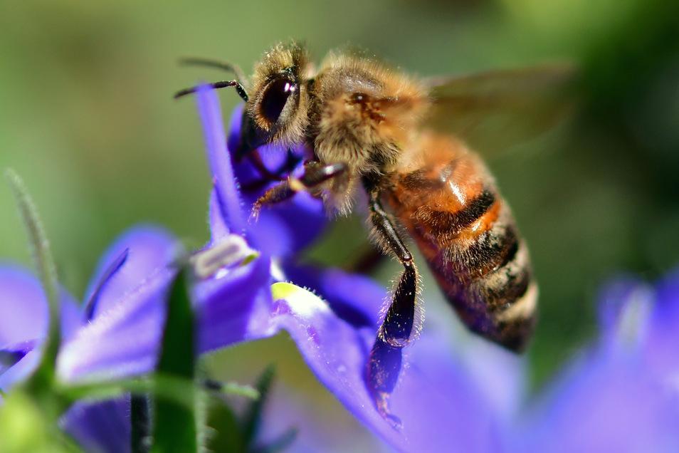 Von Blüte zu Blüte sind die Bienen unterwegs. Aber nicht überall finden sie ausreichend Nektar in den Pflanzen.