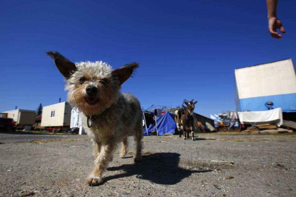 Hündchen Fetti gehört zu den Stars der Hunde-Show im Circus Mondial.