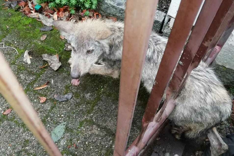 Der verirrte Babywolf blieb in einem Zaun stecken.