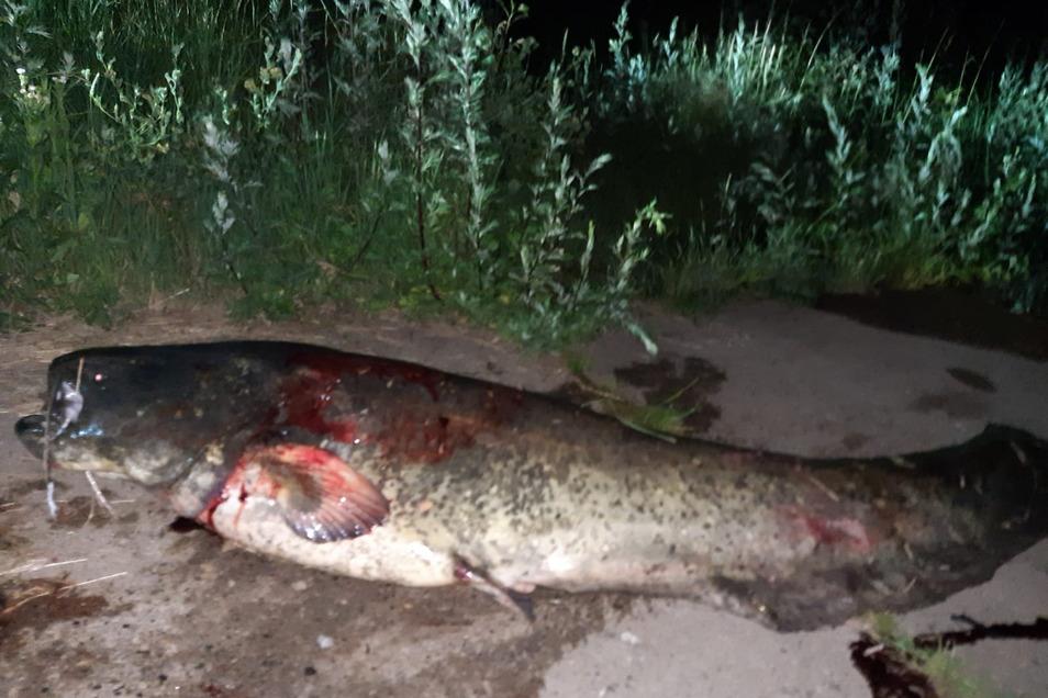 Bis zum Einbruch der Dunkelheit hatte ein Angler aus Strehla zu tun, bis er diesen Wels bei Riesa aus der Elbe ziehen konnte. Exakt zwei Meter sei der Fisch lang gewesen.