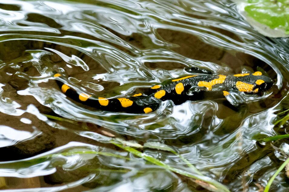 Der Feuersalamander braucht den Wald. Aber auch das Wasser. Am liebsten sind ihm kleine, ruhige Buchten für das Absetzen der Jungtiere.