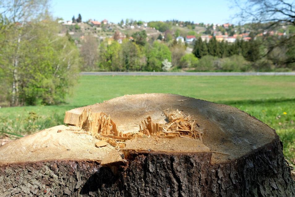 Für den Laien sieht dieser Fichtenstumpf im Schlosspark Siebeneichen vollkommen gesund aus.