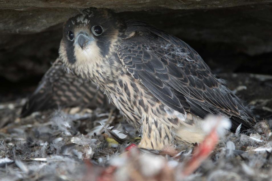 Die Gebiete in der Nähe von brütenden Falken sind bis Ende Juni für Besucher gesperrt.