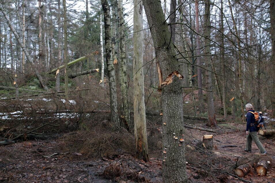 Lehnsteig im Schmilkaer Gebiet: Hier hat der Nationalpark bereits freigeschnitten, es liegen aber schon wieder neu umgebrochene Käferfichten quer über dem Weg.