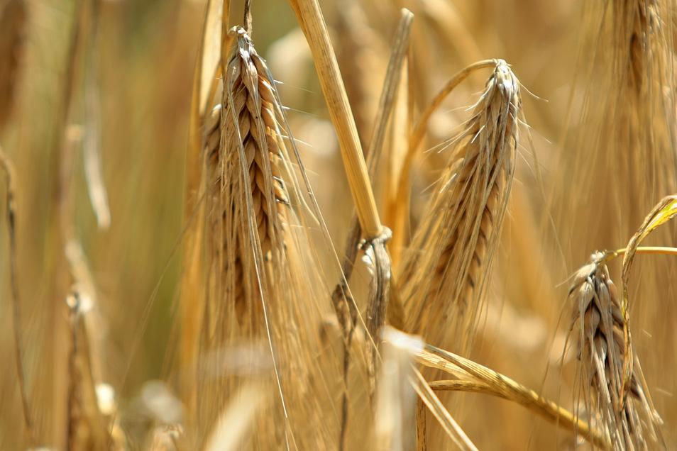 Pünktlich Anfang Juli soll in Radeburg die Erntesaison starten. In den vergangenen beiden Jahren wurde die Wintergerste zum Teil bereits deutlich früher von den Feldern geholt.