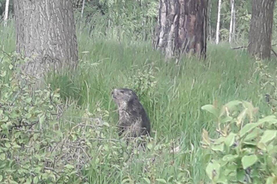 Dieses Murmeltier wurde in den Wald- und Feld-Gebieten zwischen Großhennersdorfer, Oderwitzer und Ruppersdorfer Flur gesehen.