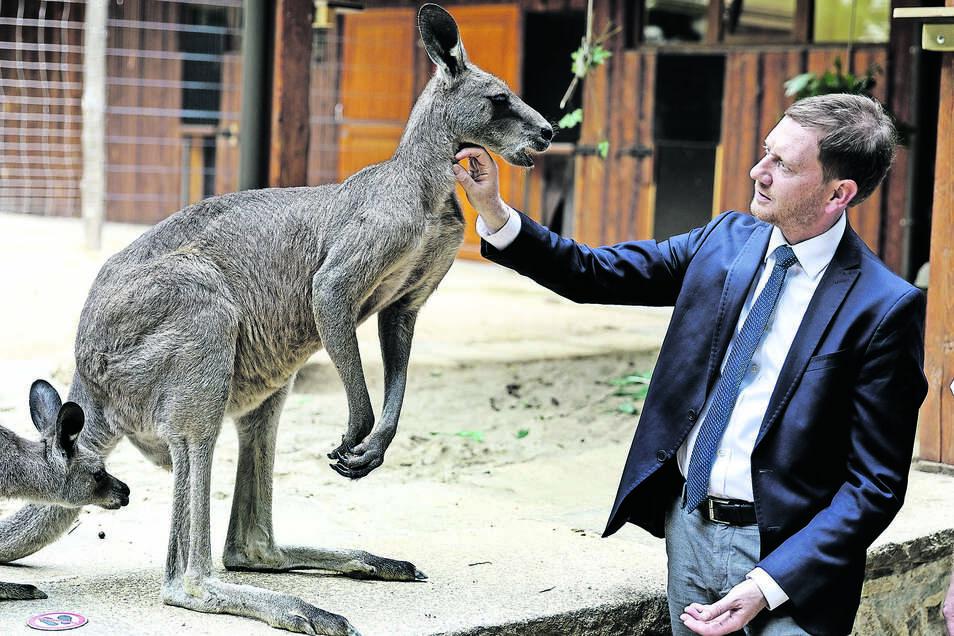 Ministerpräsident Michael Kretschmer mit seinem neuen Patenkind aus dem Tierpark, dem Grauen Riesenkänguru Frodo