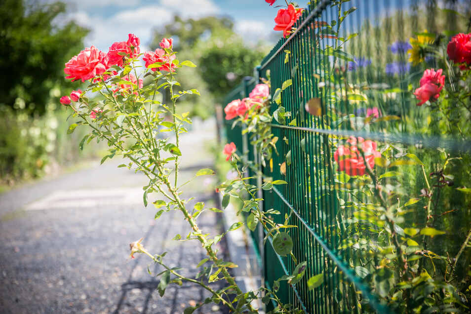 Hier wurde die Anliegerpflicht missachtet: Rosen wachsen durch den Zaun.