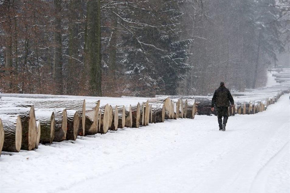 21 Baumarten kamen zum Verkauf: Seit Dezember wurden 780 Einzelstämme auf dem anderthalb Kilometer langen Platz in der Dresdner Heide aufgereiht und nach Baumarten sortiert. 21 Baumarten wurden zum Verkauf angeboten. Wie bereits in den Vorjahren machten S