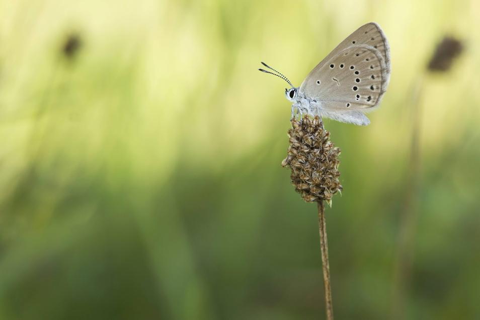 Der Helle Wiesenknopfameisenbläuling ist eine von circa 5.200 Bläulingsarten. Beim Tag der Offenen Schmetterlingswiese geht es um den Erhalt der Arten.