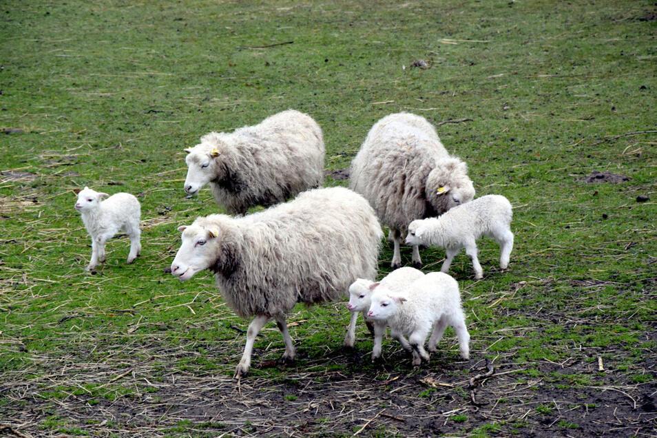 Skudden ziehen mit ihrem Nachwuchs über die Wiese der Kinder und Jugendfarm des CSB in Hoyerswerda.