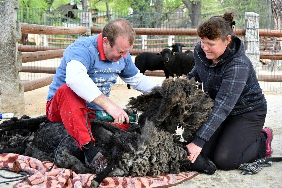 Diesmal schaute im Görlitzer Tierpark beim Schafe-Scheren niemand zu.