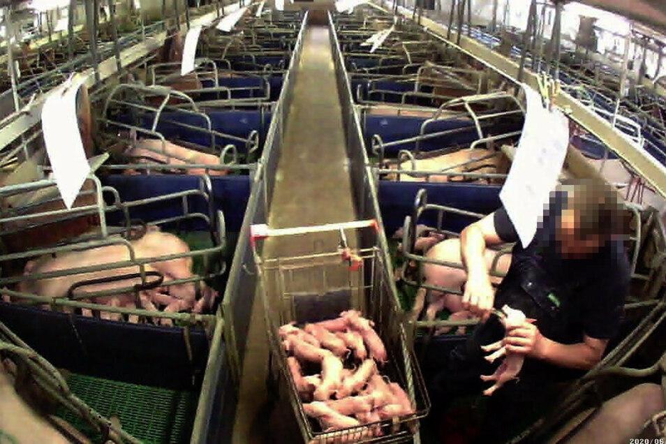 In der Schweinezuchtanlage in Gallschütz wurden von einer Tierrechtorganisation Bilder gemacht, die zeigen, dass den Ferkeln die Zähne ausgebrochen werden.