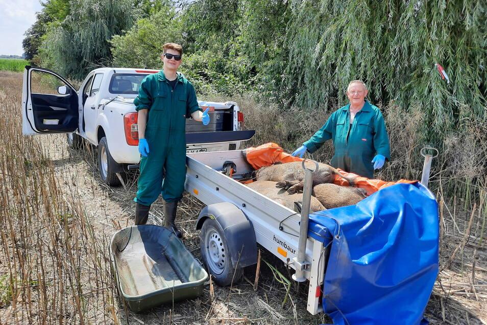 Ein vom Veterinäramt beauftragtes Bergeteam transportiert Wildschweine ab. Die Jäger bekommen zwar eine Prämie für jedes geschossene Tier. Dennoch schmerzt es viele, für den Container zu töten.