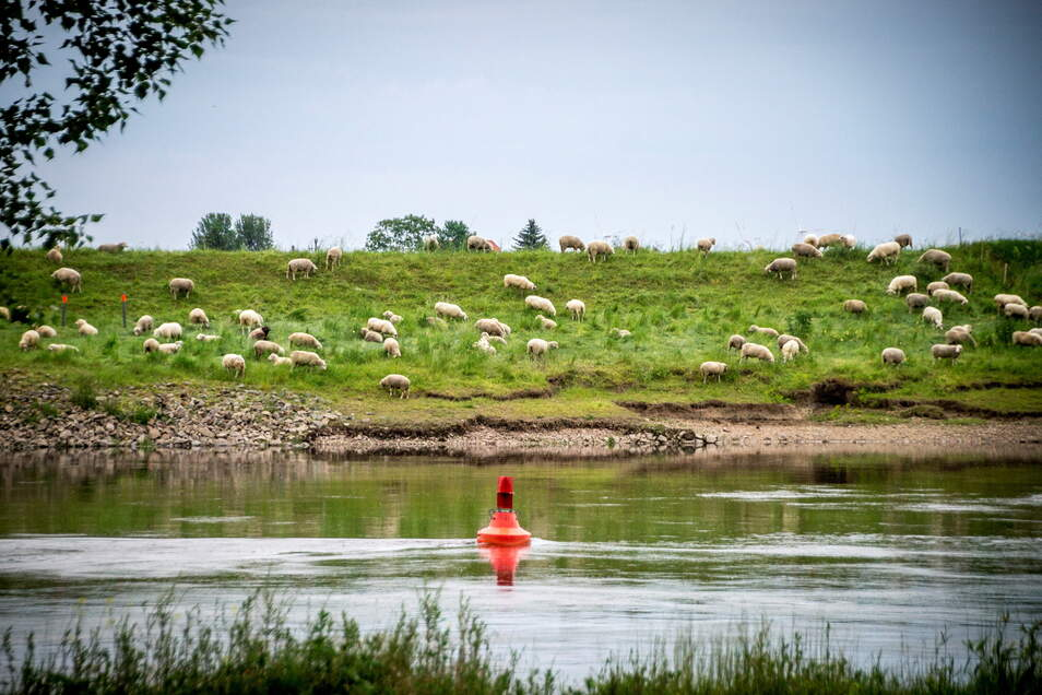 Diese Schafe weiden auf den Elbwiesen gegenüber vom Nixenstein in Strehla. Zwischen Riesa und Diesbar-Seußlitz werden sie in diesem Jahr fehlen.