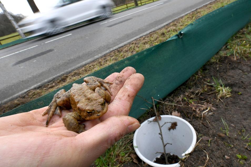 Freiwillige haben in Mittelsachsen knapp 13.000 Amphibien über die Straße geholfen.