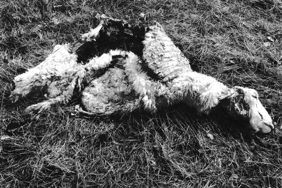 Dieses Schaf wurde in Katschwitz gerissen.
