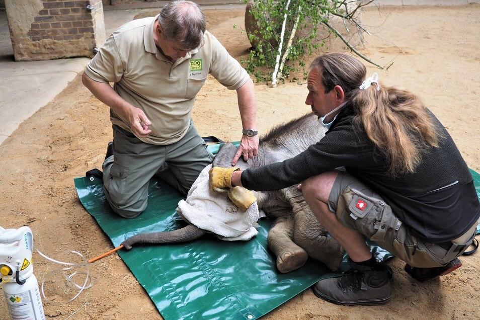Nach der Operation bereiten Zootierarzt Dr. Andreas Bernhard (l.) und Bereichsleiter Thomas Günther das Aufwachen vor.