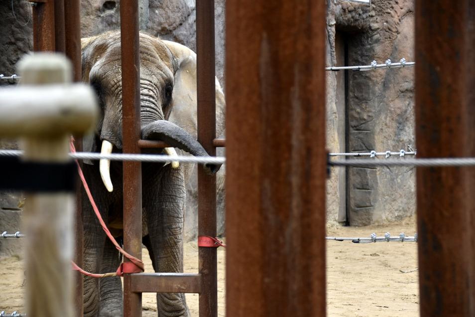 Neugierig beobachtet Elefantendame Mogli ihren neuen Mitbewohner Tonga, der zum ersten Mal das Außengehege inspiziert.