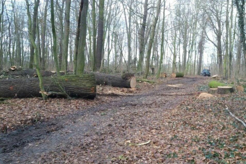 Kein schöner Anblick: gefällte Bäume im Riesaer Waldgebiet Espich.