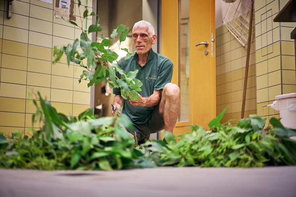 Olaf Lohnitz teilt den Eukalyptus in Sträuße auf, knipst die Enden ab und befeuchtet ihn mit Wasser, damit er dem Original im Regenwald möglichst ähnlich ist.