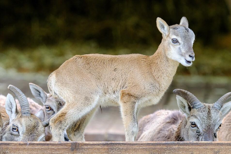 Nachwuchs beim Muffelwild: Gleich neun Minis dieser Wildschafe tummeln sich in der Anlage.