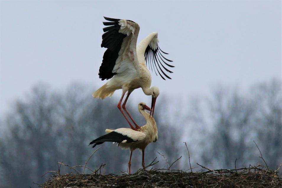 Das Storchenpaar soll auch dieses Jahr für Nachwuchs sorgen.