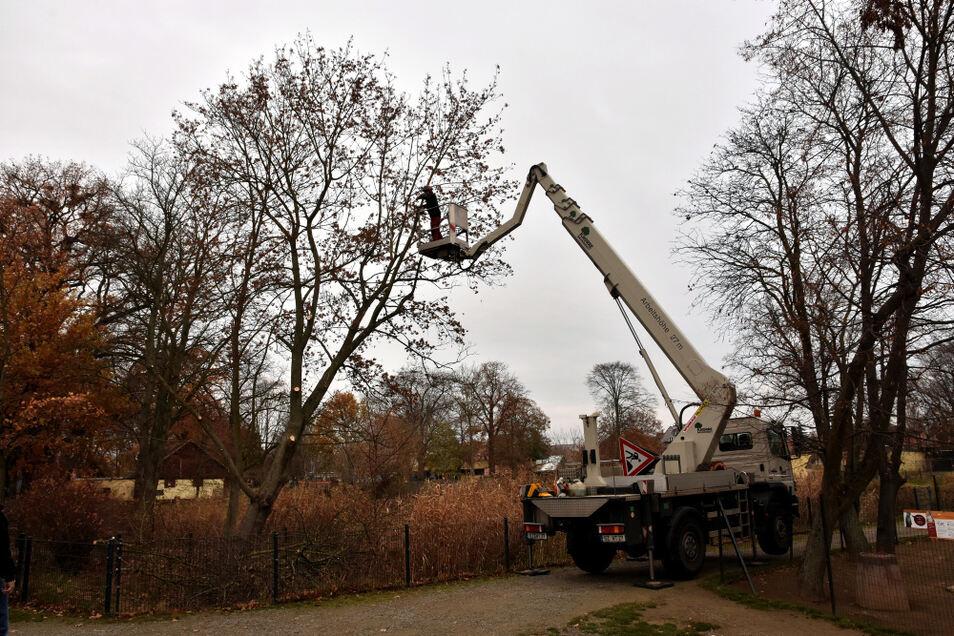 Pro Jahr gibt der Zoo Hoyerswerda rund 8-10.000 Euro für die Baumpflege aus, um Verletzungen und Sachschäden durch herunterfallende Äste zu vermeiden. Derzeit ist der Baumdienst Knorre im Gelände aktiv.