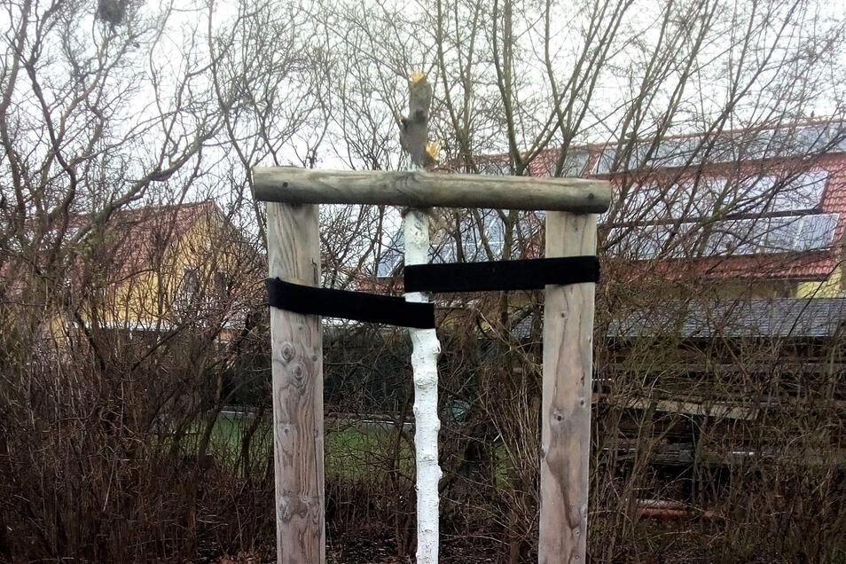 Vogel-Kirsche auf dem Pirnaer Sonnenstein: Einfach die Krone abgebrochen.