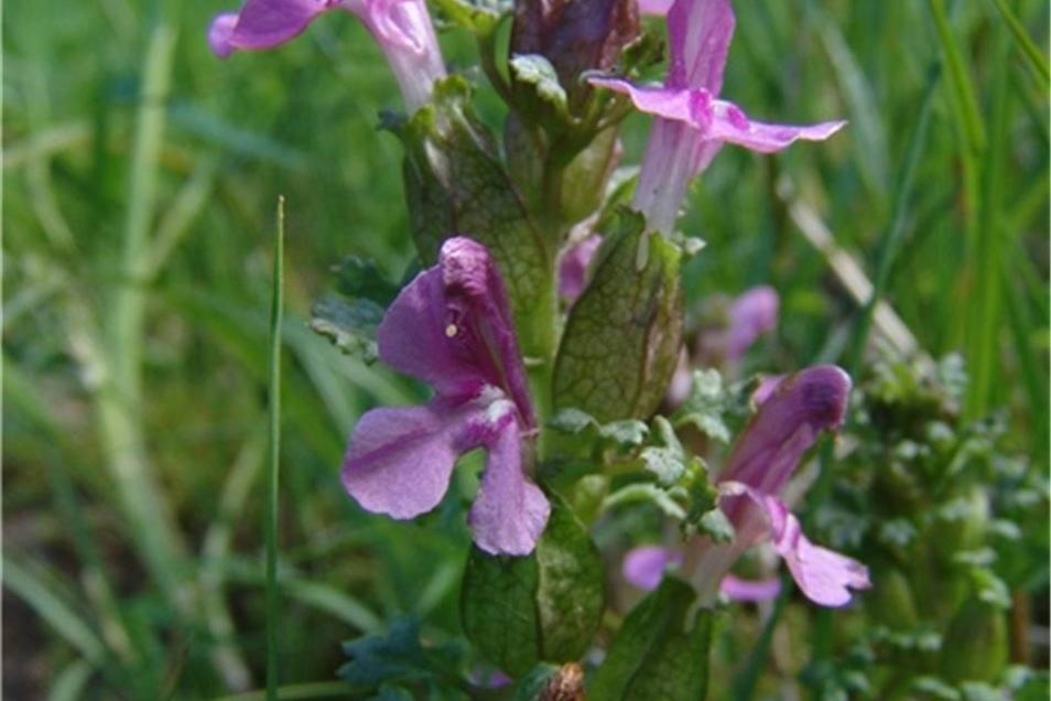 Wald-Läusekraut Es wächst nur auf zwei Feuchtwiesen im Bielatal sowie bei Hinterhermsdorf und wurde früher gegen Läuse verwendet.