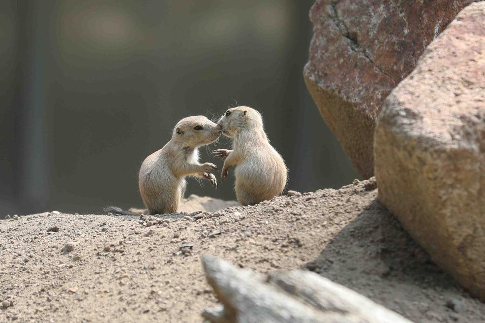 Drei Präriehunde-Junge erfreuen derzeit den Zoo Dresden und seine Besucher.